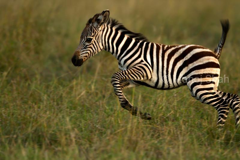 Zebra foal playing