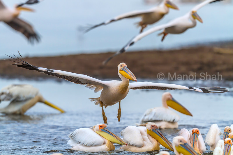 White pelicans landing over a flight from lake Nakuru.