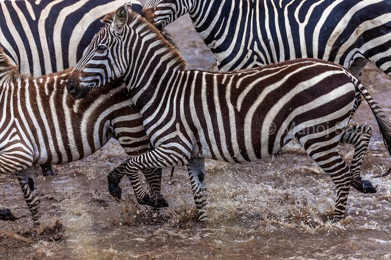 Zebras stating to cross the Mara River in Masai Mara.