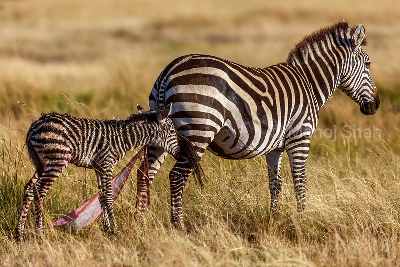 Zebra mother with her new born baby in Masai Mara.