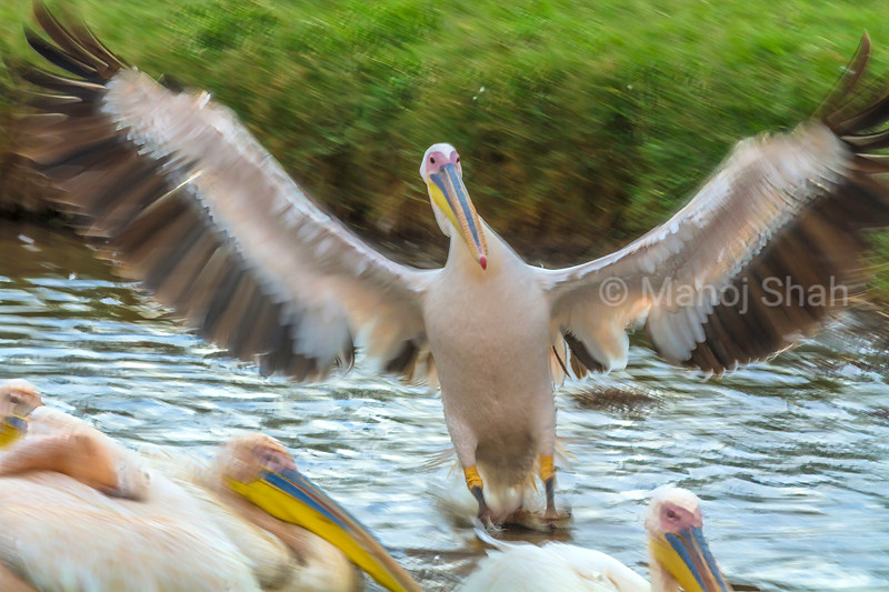 White pelican landing over a flight from lake Nakuru.