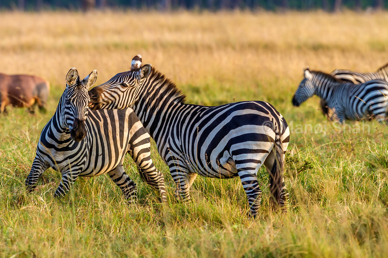 Zebras greeting each other in Masai Mara.