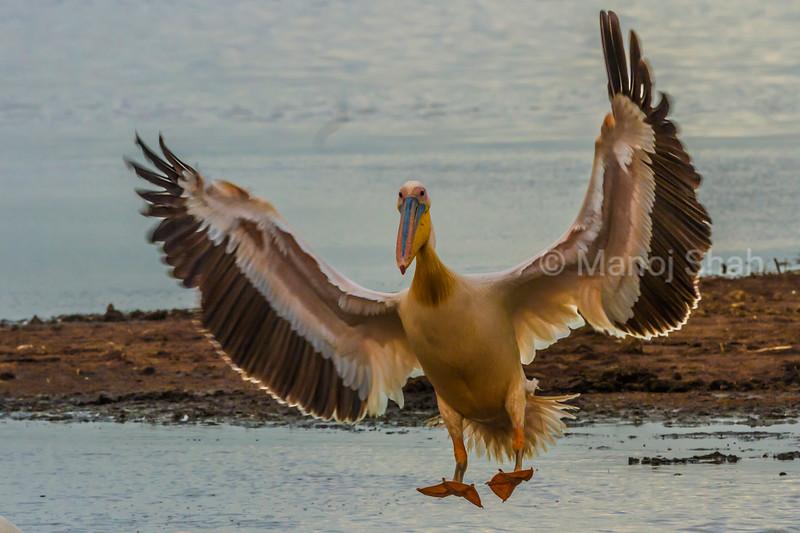White pelican landing in Lake Nakuru