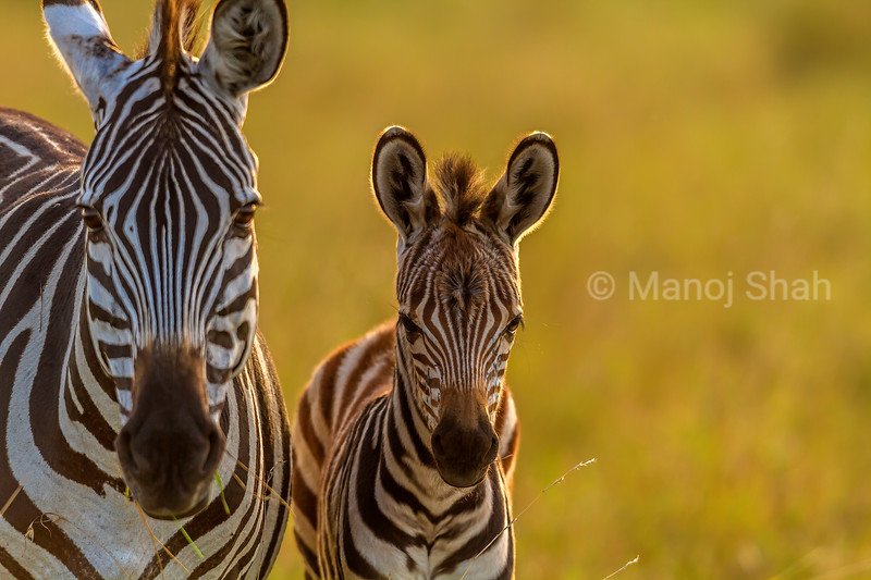 Zebra foal happily playing in sight of its mother in Masai Mara.
