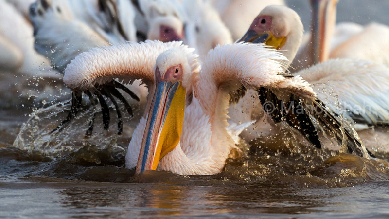 White Pelican bathing at Lake Nakuru National Park.