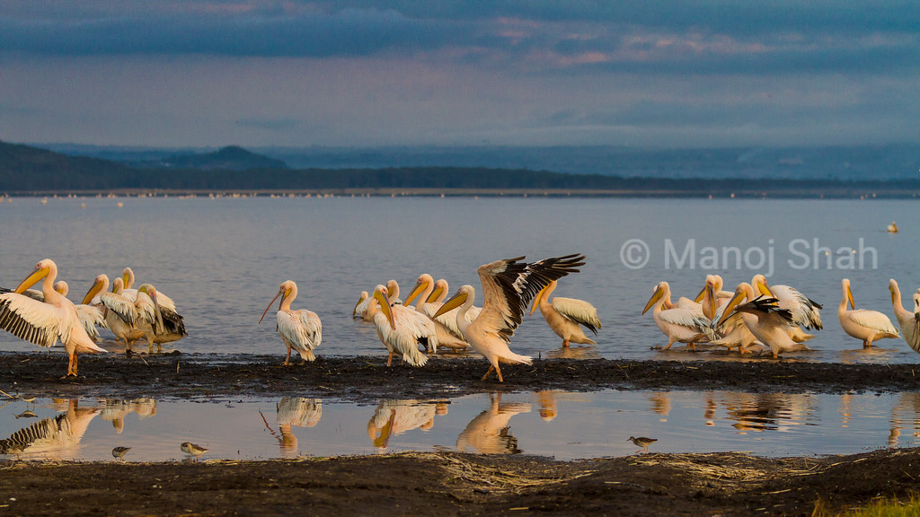 White Pelicans at Lake Nakuru National Park.