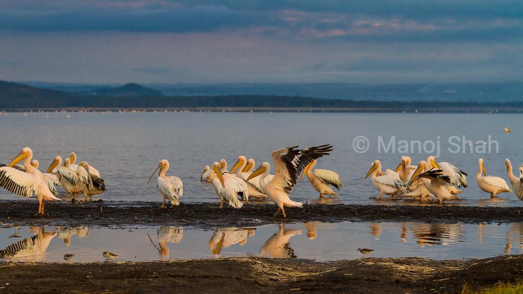 White Pelicans at Lake Nakuru National Park.