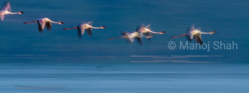 Lesser Flamingos in flight over Lake Nakuru.