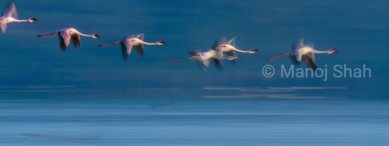 Lesser Flamingos in flight over Lake Nakuru.