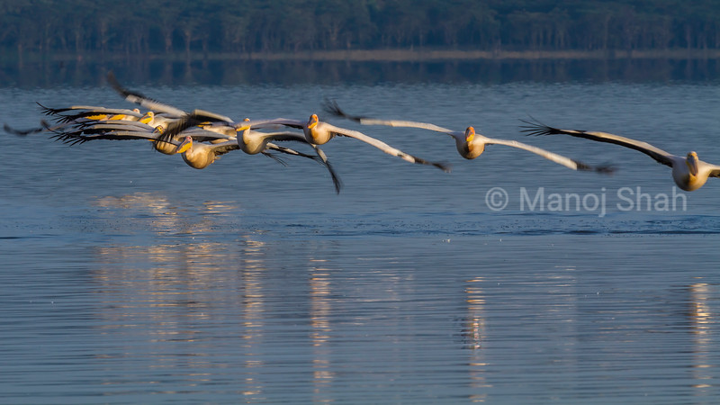 Flock of White pelicans in a flight over Lake Nakuru