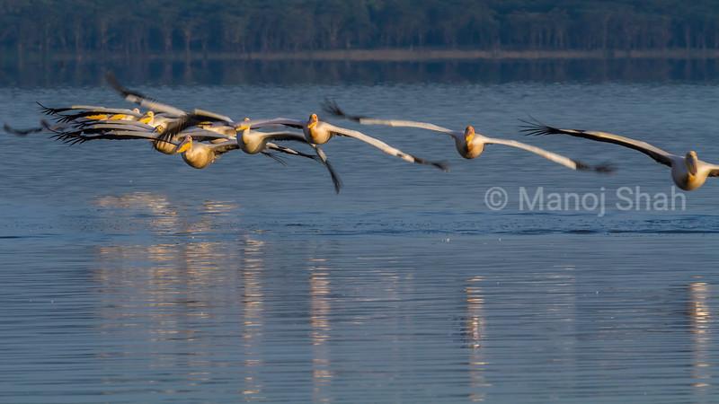 Flock of White pelicans in a flight over Lake Nakuru