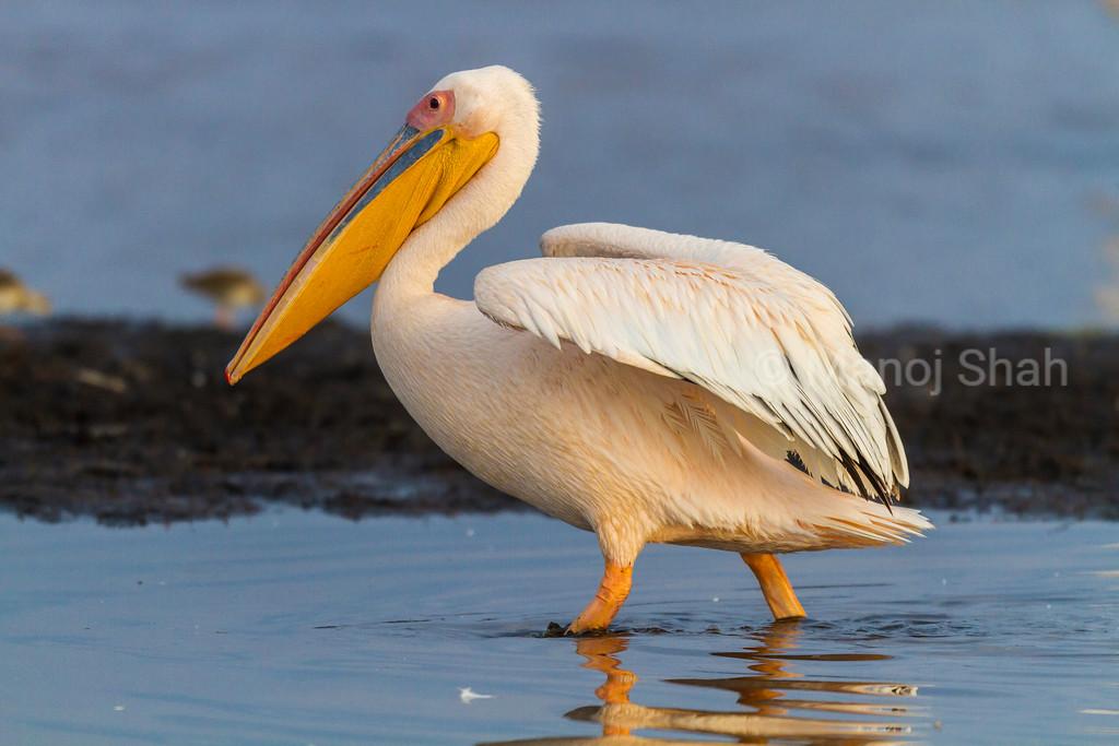 White Pelican at Lake Nakuru National Park.