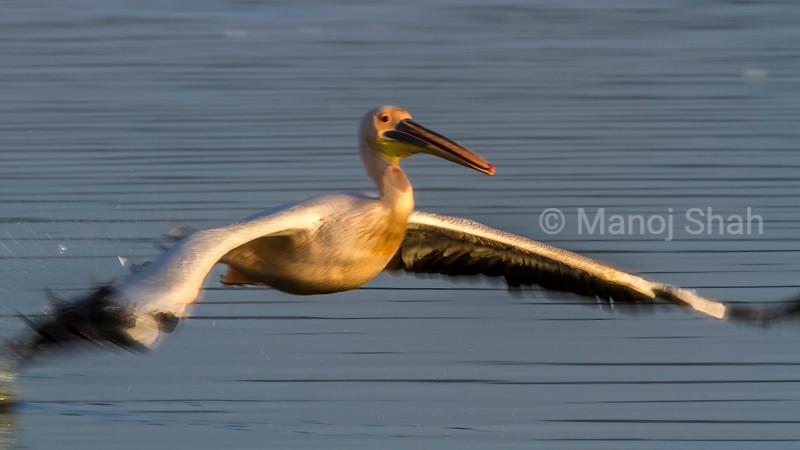 White pelicans landing over a flight from lake Nakuru.