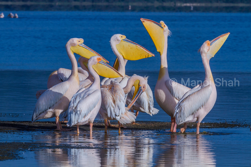 White pelicans enjoying the early morning sun in Lake Nakuru.