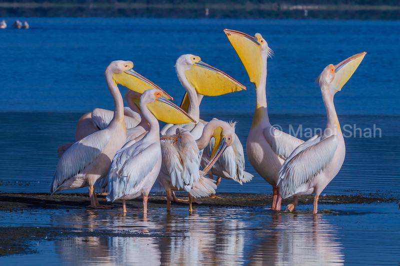 White pelicans enjoying the early morning sun in Lake Nakuru.