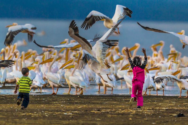 White Pelicans - Children running happily to them  - Lake Nakuru National Park, Kenya