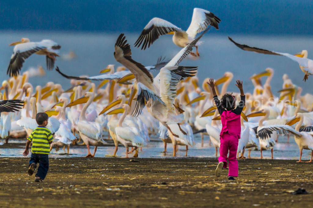 White Pelicans - Children running happily to them  - Lake Nakuru National Park, Kenya