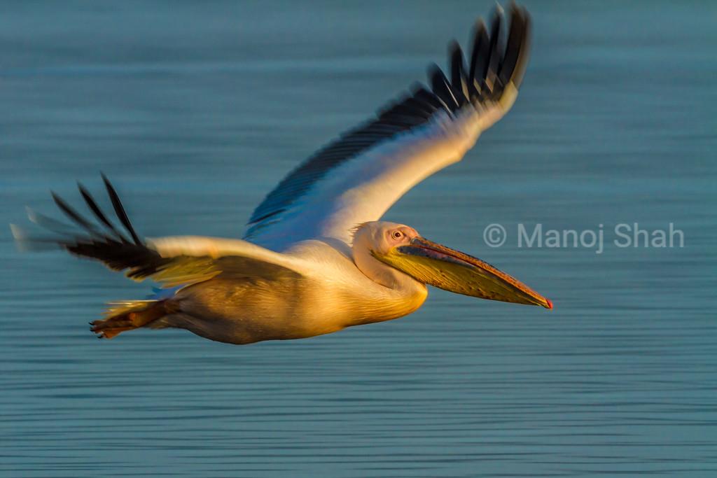 White Pelican in flight over Lake Nakuru