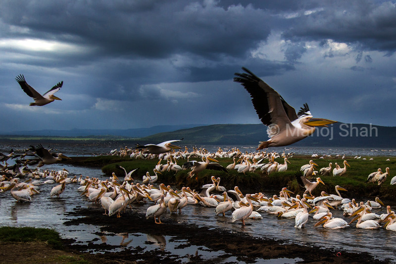 White Pelicans at Lake Nakuru