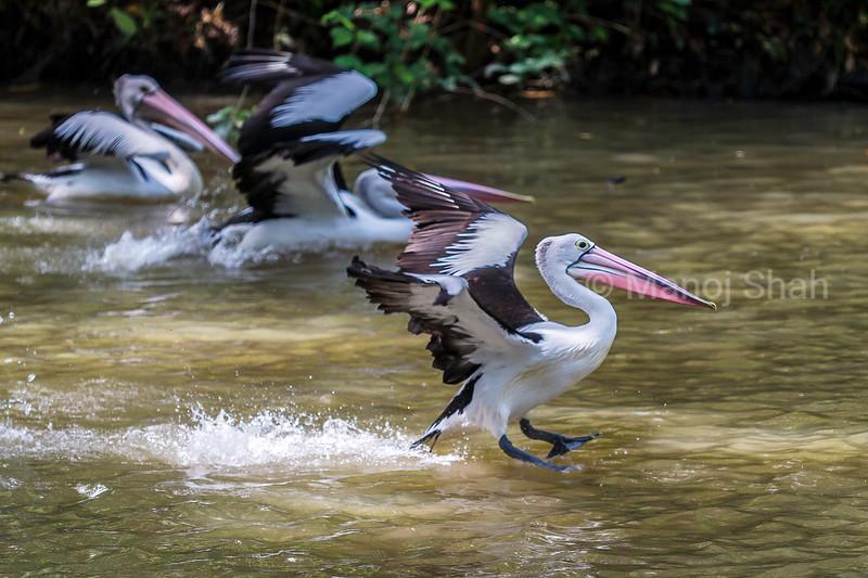 Australian Pelicans landing from a flight