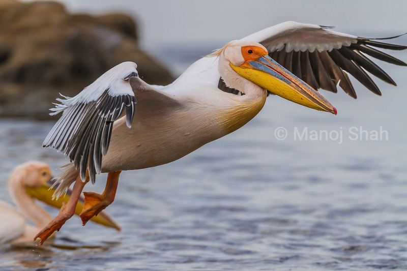 White Pelican landing from a flight over Lake Nakuru.