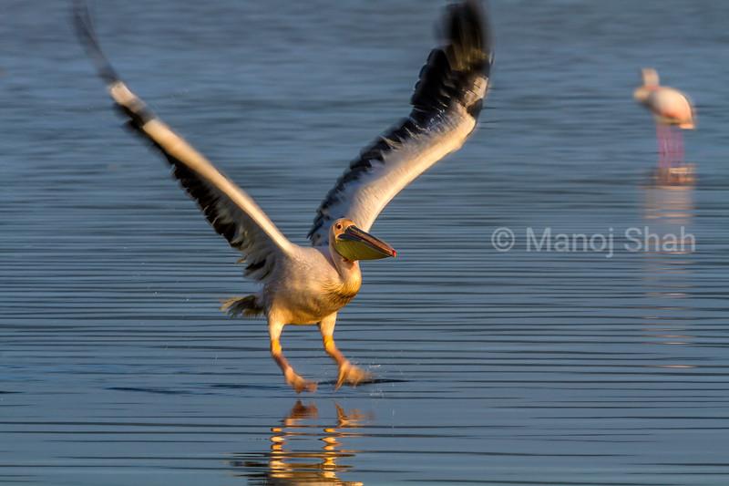 White Pelican landing from a flight over Lake Nakuru.