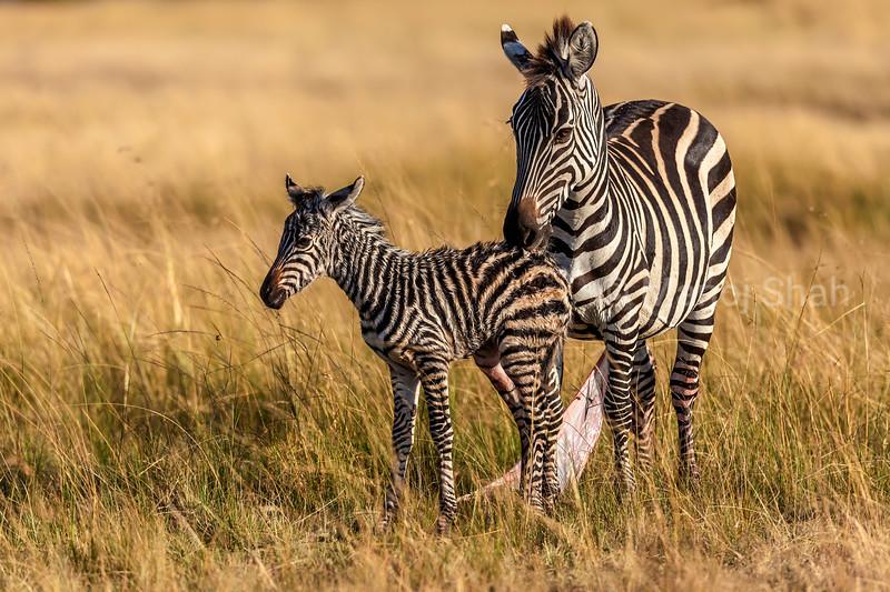 Zebra mother grooming her new born baby in Masai Mara.