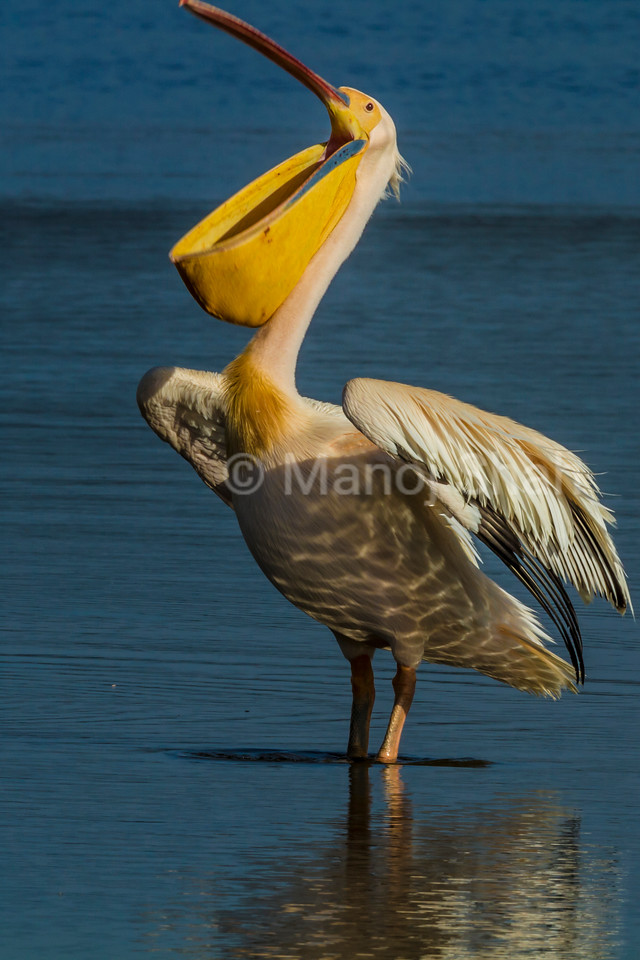 White Pelican yawning while standing in Lake Nakuru