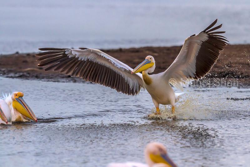 White pelican landing over a flight from lake Nakuru.