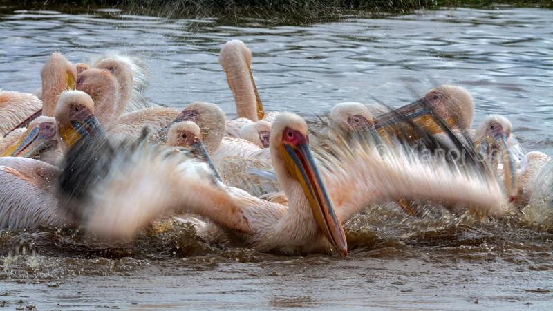 White Pelican bathing at Lake Nakuru National Park.