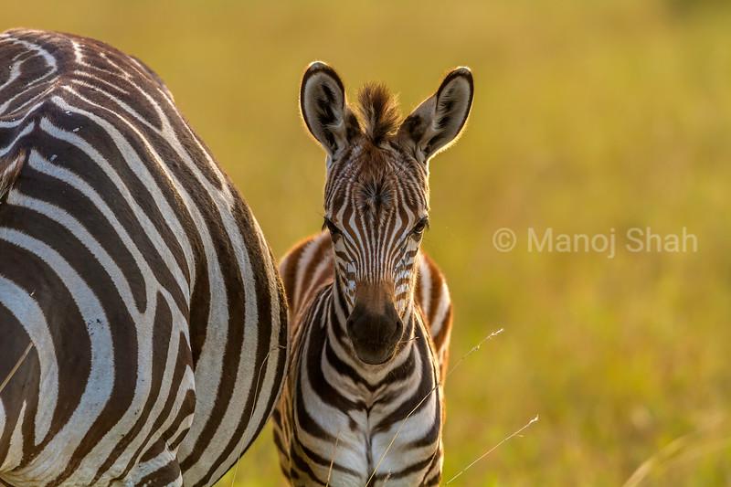 Zebra foal waits besides mother in Masai Mara.