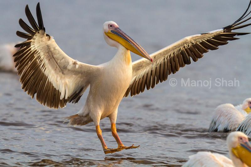 White Pelican landing at Lake Nakuru,