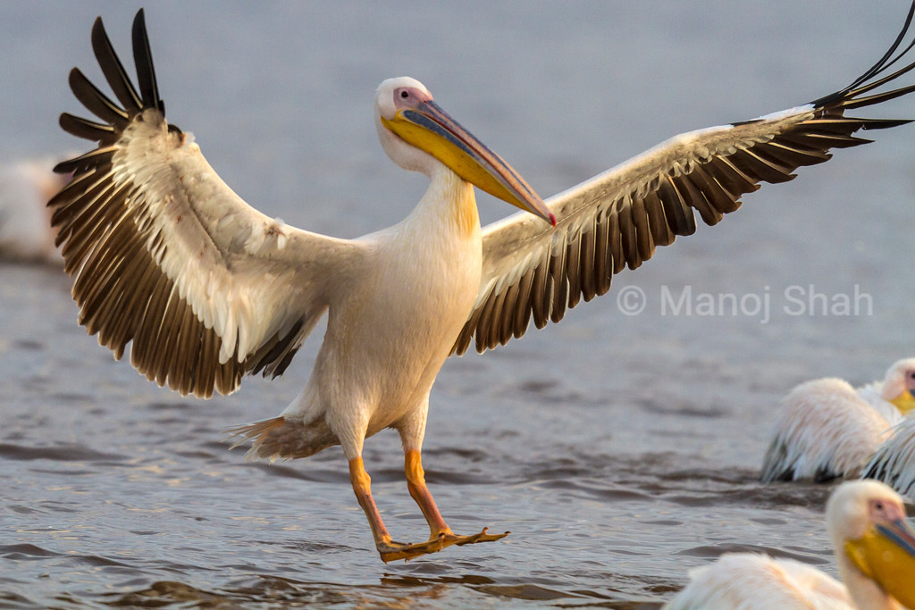 White Pelican landing at Lake Nakuru,