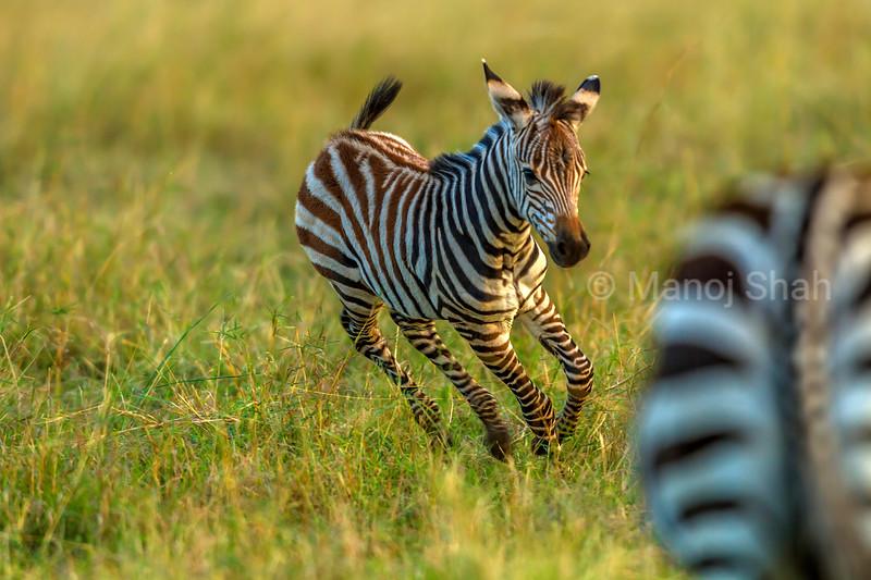 Zebra foal playing near its mother grazing in Masai Mara.