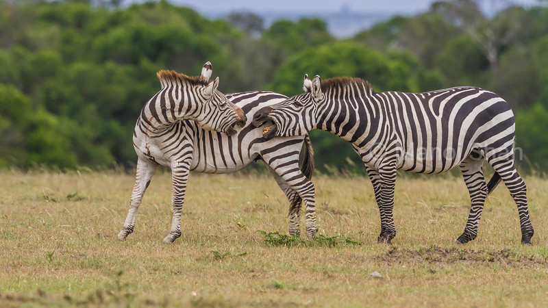 Zebras ready ro start duelling for supremacy in Masai Mara.