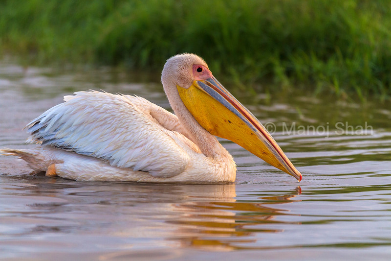 White Pelican at Lake Nakuru National Park.