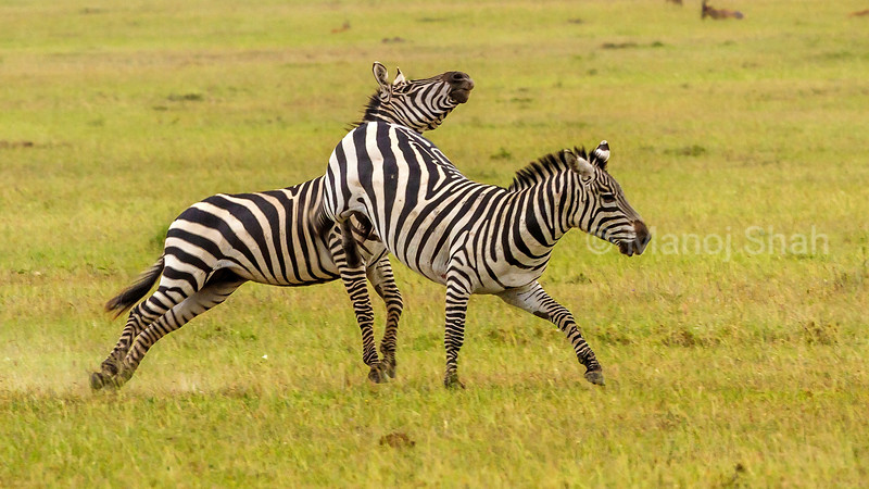 Male Zebras chasing and duelling for supremacy in Masai Mara, The leading zebra kicks with the hind legs to keep the opponent away.