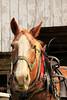 PA GREENCASTLE Charlie Lindsay SIX HORSE BELL TEAM MAYJJ_MG_1246MMW