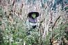 A corn picker near Chiang Rai, Thailand