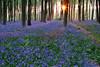 Bluebells - Micheldever Wood, Hampshire, UK
