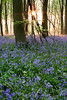 Bluebells - Micheldever Wood, Hampshire, UK