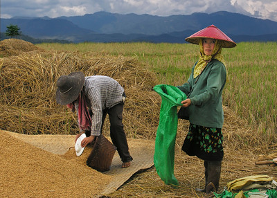 RICE WORKERS - SHAN STATE