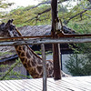 Girafe at Impala Camp, Selous Reserve