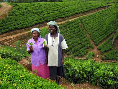 TEA PLUCKER - SRI LANKA