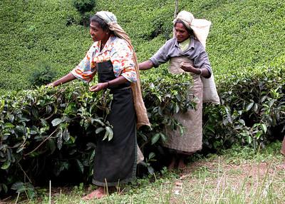 TEA PLUCKERS - SRI LANKA