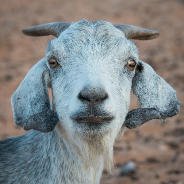 Himba Goat