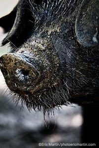 FRANCE. PERIGORD. ARNAUD BOURGEOIS à créé au Domaine de la Valette à Saint Felix de Villadeix une « ferme conservatoire » qui valorise les races animales rares et anciennes .