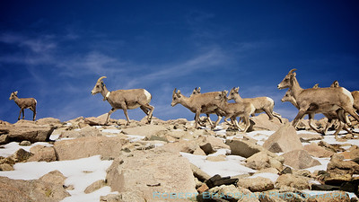 September 17, 2011 Bighorn sheep White Mountain, California
