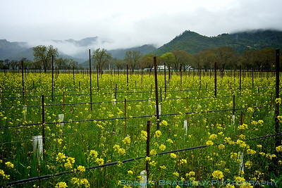 March 24, 2012 Napa Valley vineyard with field mustard (Brassica rapa)