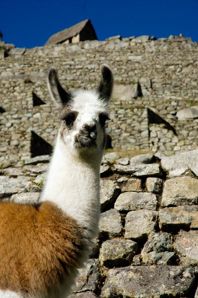 Ilama at Machu Picchu